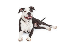 Pit Bull Dog Laying felice Fotografia Stock Libera da Diritti