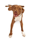 Pit Bull Dog  laying with legs out Stock Photos