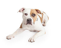 Pit Bull Dog Laying Looking Into Camera Stock Photos