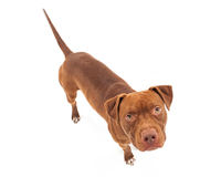 Pit Bull Dog Looking Up stock afbeelding