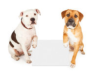 Pit Bull Dog Offering Its Paw To Shake Royalty Free Stock Photo