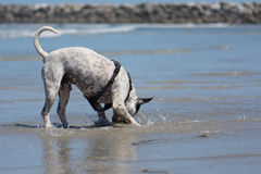 Pit Bull Dog Playing Fetch in Ocean. San Diego Dog Beach. A pit bull playing fetch with a ball in the ocean at the beach royalty free stock images