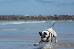 Pit Bull Dog Playing Fetch in Ocean. San Diego Dog Beach. California. A pit bull playing fetch with a ball in the ocean at the beach stock photography