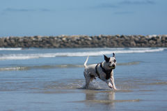 Pit Bull Dog Playing Fetch in Ocean. San Diego Dog Beach. A pit bull playing fetch with a ball in the ocean at the beach royalty free stock photo