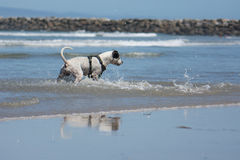 Pit Bull Dog Playing Fetch in Ocean. San Diego Dog Beach. A pit bull playing fetch with a ball in the ocean at the beach royalty free stock photography