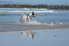 Pit Bull Dog Playing Fetch in Ocean. San Diego Dog Beach. A pit bull playing fetch with a ball in the ocean at the beach stock images
