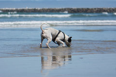 Pit Bull Dog Playing Fetch in Ocean. San Diego Dog Beach Beach. A pit bull playing fetch with a ball in the ocean at the beach royalty free stock image