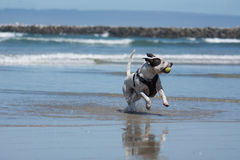 Pit Bull Dog Playing Fetch in Ocean. San Diego Dog Beach. A pit bull playing fetch with a ball in the ocean at San Diego Dog Beach, California royalty free stock photos