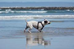 Pit Bull Dog Playing Fetch in Ocean. San Diego Dog Beach. A pit bull playing fetch with a ball in the ocean at San Diego's Dog Beach Stock Photo