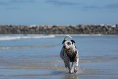 Pit Bull Dog Playing Fetch en la playa Imágenes de archivo libres de regalías