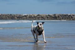 Pit Bull Dog Playing Fetch en la playa Fotos de archivo