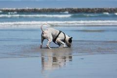 Pit Bull Dog Playing Fetch en la playa Imagen de archivo libre de regalías