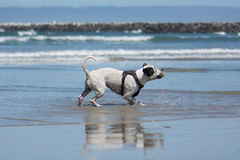 Pit Bull Dog Playing Fetch en la playa Foto de archivo