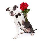 Pit Bull Dog With Red-Rosen Lizenzfreie Stockfotografie