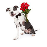 Pit Bull Dog With Red Roses Royalty Free Stock Photography