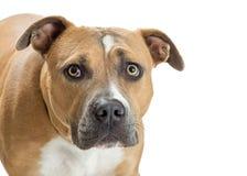 Pit Bull Dog With Scared-Uitdrukking royalty-vrije stock fotografie