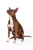 Pit Bull Dog Sitting Obedient Stock Photo
