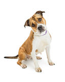 Pit Bull Dog Sitting Tilting Head. Beautiful large Pit Bull crossbreed dog sitting on white background while tilting head and looking into camera Stock Photography