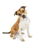 Pit Bull Dog Sitting Tilting Head Stock Photography