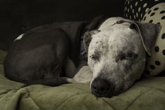A pit bull dog sleeps peacefully on a couch Stock Photography