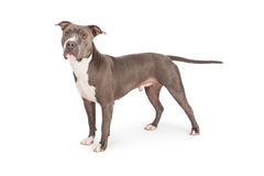 Pit Bull Dog Standing azul a tomar partido Imagem de Stock Royalty Free
