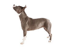 Pit Bull Dog Standing to Side Lookng up Royalty Free Stock Images