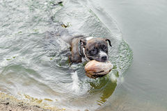 Pit bull dog swimming. In the water Royalty Free Stock Photos