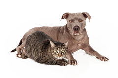 Pit Bull Dog and Tabby Cat Stock Photos