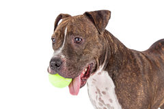 Pit Bull Dog With Tennis-Bal in Mond Stock Afbeelding