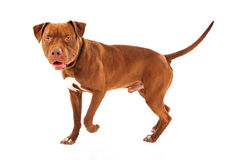 Pit Bull Dog Walking. Against a white background Royalty Free Stock Images