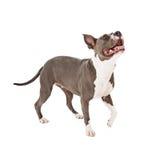 Pit Bull Dog Walking Looking upp Arkivbild