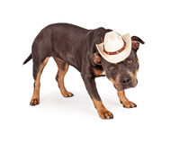 Pit Bull Dog Wearing Cowboy Hat Stock Images