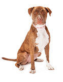 Pit Bull Dog Wearing Pink Collar Stock Photography