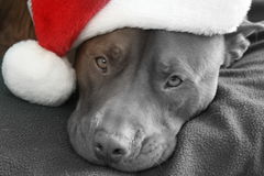 Pit Bull Dog Wearing Santa hatt Royaltyfria Bilder