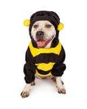 Pit Bull en Halloween manosea el traje de la abeja Imagenes de archivo
