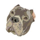 Pit Bull głowa ilustracja wektor