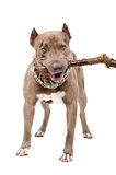 Pit bull gnaws a stick Royalty Free Stock Photos