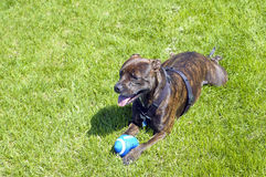 Pit bull dog with a ball Royalty Free Stock Images