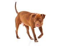 Pit Bull Guard Dog royalty-vrije stock fotografie