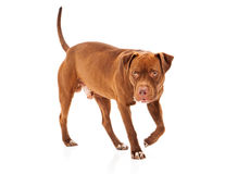 Pit Bull Guard Dog Royalty Free Stock Photography