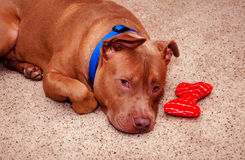 Pit bull guarding his favorite toy Stock Photography