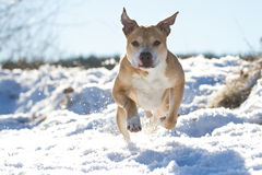 Pit Bull having fun in the snow Royalty Free Stock Photography