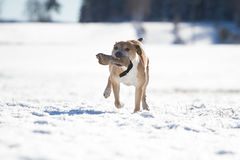 Pit Bull having fun in the snow Royalty Free Stock Photos