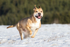 Pit Bull having fun in the snow Stock Photography