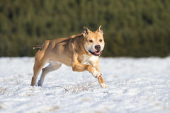 Pit Bull having fun in the snow Stock Images