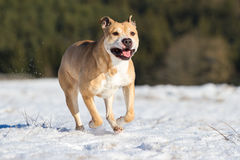 Pit Bull having fun in the snow Royalty Free Stock Image