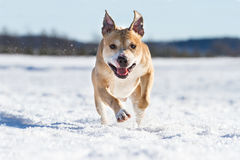 Pit Bull having fun in the snow Royalty Free Stock Photo