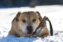 Pit Bull having fun in the snow Stock Photos