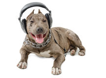 Pit bull in headphones. Dog breed pit bull in headphones lying isolated on white background royalty free stock photography