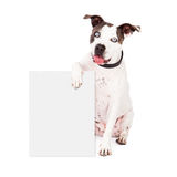Pit Bull Holding Blank Sign. A happy Pit Bull dog holding a blank sign for you to enter your marketing message onto Stock Photos